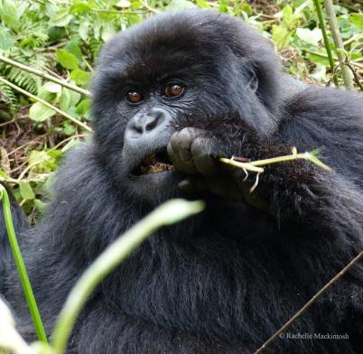 Young mountain gorilla, Volcanoes NP, Rwanda