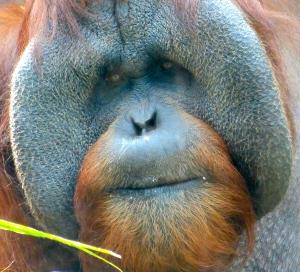 gorillaMAIN