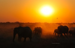 Eles at day's end, Etosha National Park, Namibia
