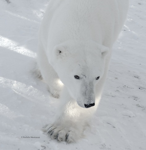 An adult polar bear approaches our tundra buggy, Churchill, Canada