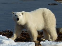 Adult polar bear waiting for the sea ice to form, Churchill, Canada