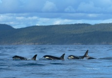 Stunning southern resident orcas, bouncing around Victoria, BC