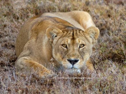 Lioness, Serengeti NP, Tanzania
