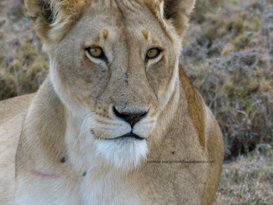 LION1D