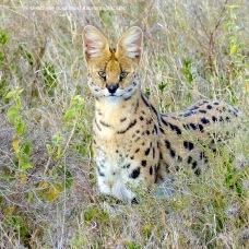 Serval, Serengeti NP, Tanzania