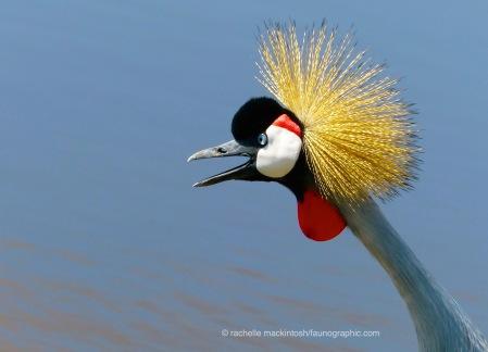 Grey Crane, Serengeti NP, Tanzania