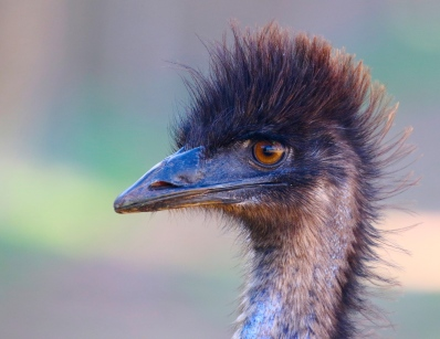 Emu, snapped on the main street of Exmouth, Western Australia (on my wedding day!)
