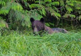 Young one tucking into sedge; Great Bear Rainforest, Canada