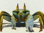 Sandbar crab, Niyama, Maldives