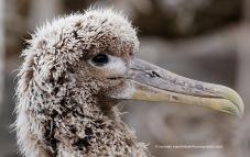 Baby waved albatross