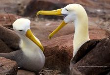 Waved albatross romance