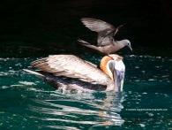 Lava Gull riding a pelican