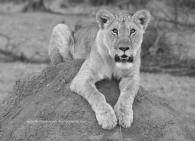 cub_lion_1 copy