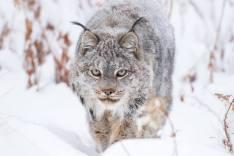 Canadian Lynx, Yukon Territory, Canada