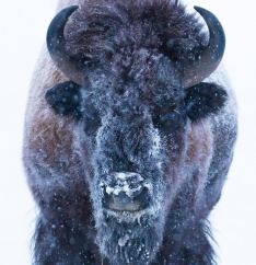 Bison chilling in the -38C morning, Yukon Territory, Canada