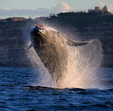 Humpback bouncing around Sydney Heads at day's end