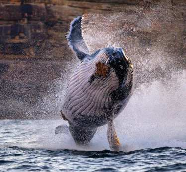 Bouncy juvie humpback partying off North Head, Sydney