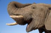 Rescue elephant at Jabulani, Kapama Game Reserve, South Africa